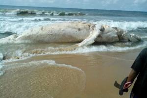 The strange fish on the shore of Eleko beach