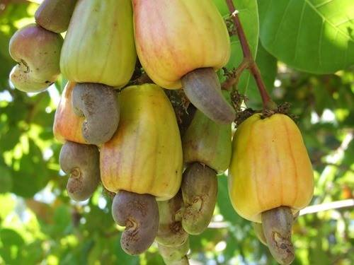 USE CASHEW JUICE TO BOOST YOUR IMMUNE SYSTEM, ENERGY AND SEXUAL PERFORMANCE