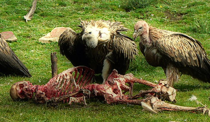 THE TIBETAN CULTURE WHERE DEAD BODIES ARE OFFERED TO VULTURES